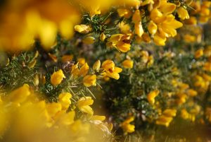 Yellow flowers of gorse