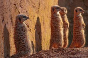 Dartmoor zoo supports a meerkat breeding programme