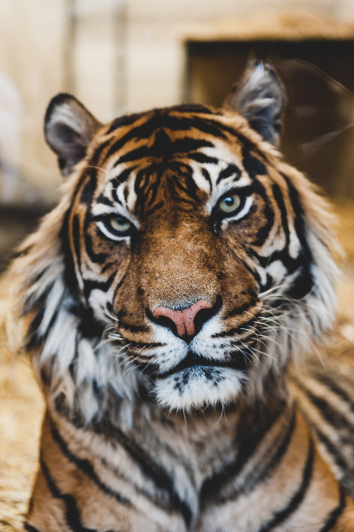 Dartmoor Zoo is home to a pair or Amur Tigers - Dragan and Alisha